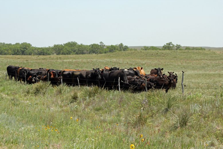 We have now entered the mid-point of summer and it is time to evaluate our pasture fly control efforts.  Photo courtesy of Troy Walz.