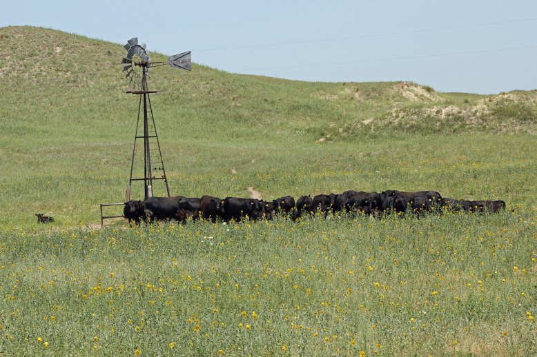 Water needs are influenced by environmental temperature, class of livestock, and weight.  Photo courtesy of Troy Walz.