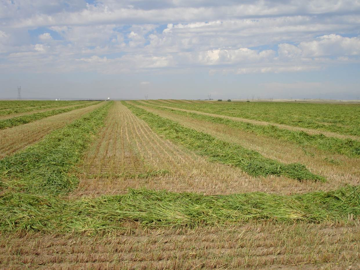 Can hay from summer annual grasses be dry and high quality?  Photo courtesy of Aaron Berger.
