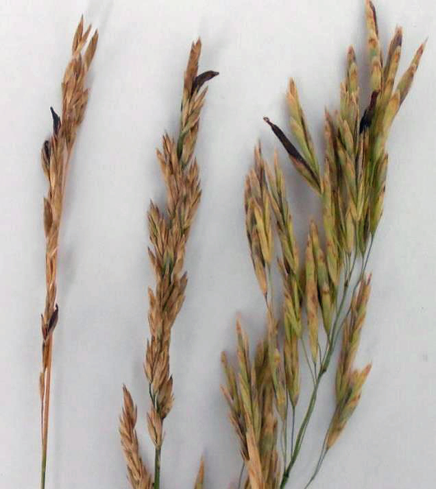 Grass in pasture or hay should be examined to determine if the fungus is present.