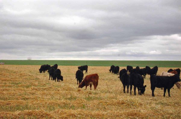 Windrow grazing is a management practice that can significantly reduce harvesting and feeding costs. Photo courtesy of Aaron Berger.