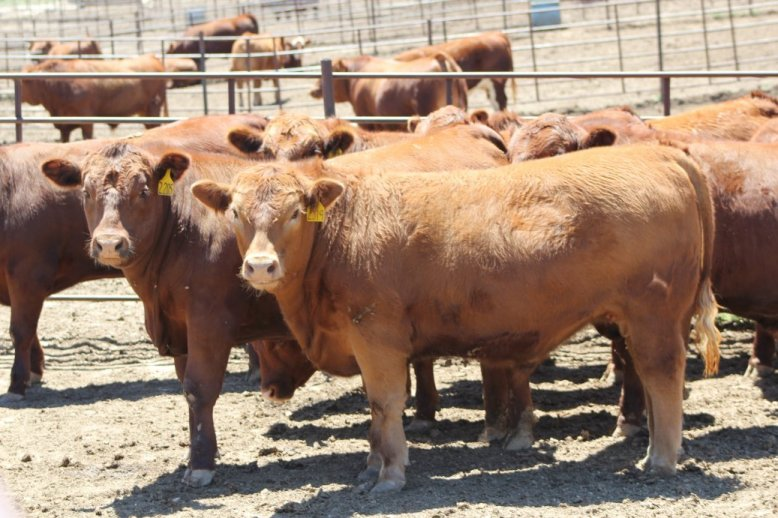 An appropriate Herd Health Plan/Protocol ensures all cattle are raised with good health management practices.  Photo courtesy of Troy Walz.
