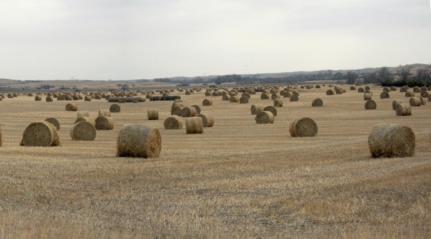 High nitrates could be a problem for cattle producers planning to feed or graze annual forages, thus testing for nitrates is recommended.  Photo courtesy of Troy Walz.