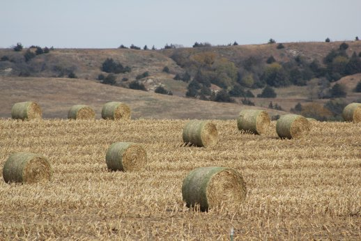 What are corn stalk bales worth as a feed?  Photo courtesy of Troy Walz.