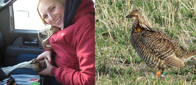 Jocelyn Olney with a banded prairie chicken (photo by Jen Smith) and a banded prairie chicken in the field (photo by Cara Whalen).