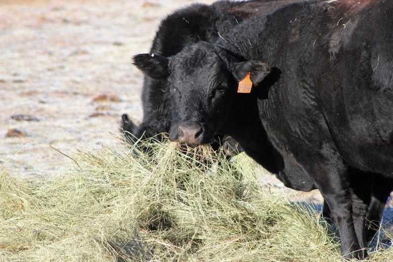 Have you ever stopped to think about what the dollar value of the nutrients in the hay are worth as fertilizer once they have been processed by the cow? Photo courtesy of Troy Walz.