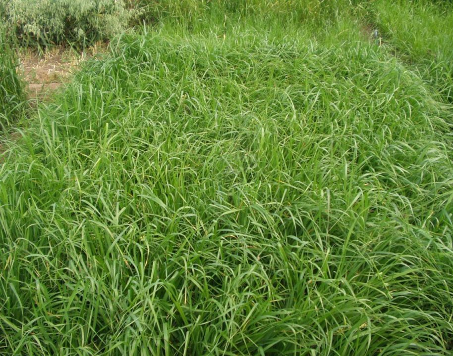 Ryegrasses are very palatable, high quality forage grasses.  Photo courtesy of Bruce Anderson.