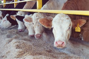 2014 Beef Feedlot Roundtable Webinars Are Now Available On-line. Photo courtesy of Matt Leubbe