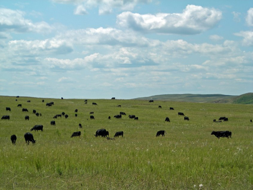 Often grazing plans and recommendations use terminology such as Animal Unit Months (AUMs) to describe the carrying capacity of a given forage or pasture.   Photo courtesy of Troy Walz.