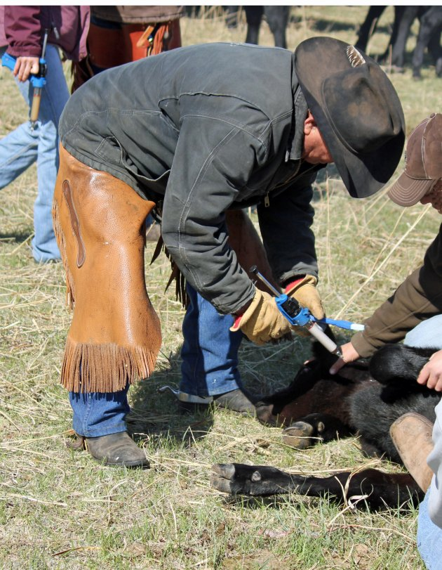 """Giving injections in the """"triangle"""" on the neck helps minimize injection sites in the carcass.  Photo courtesy of Troy Walz."""