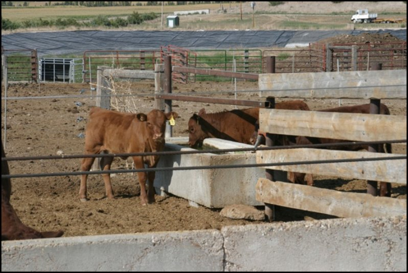Temperature plays a very critical role in water intake in the young calf. Photo courtesy of Jason Warner.