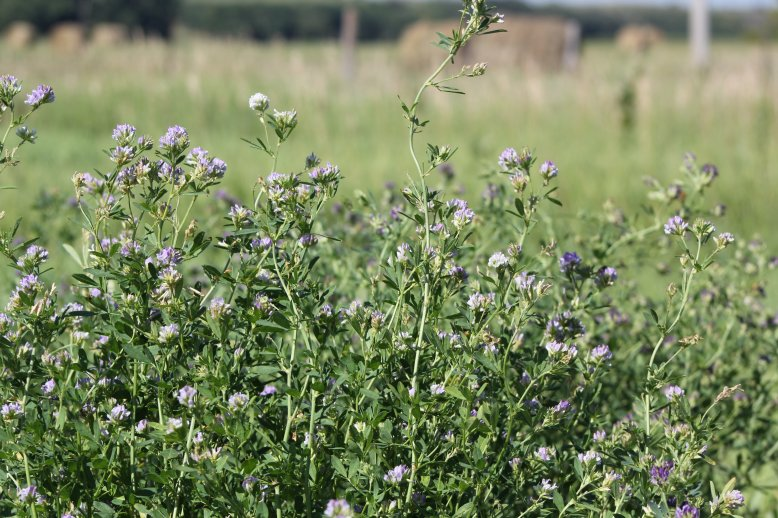 Many growers find that grazing alfalfa in the fall provides some special flexibility that often is useful this time of year.  Photo courtesy of Troy Walz.