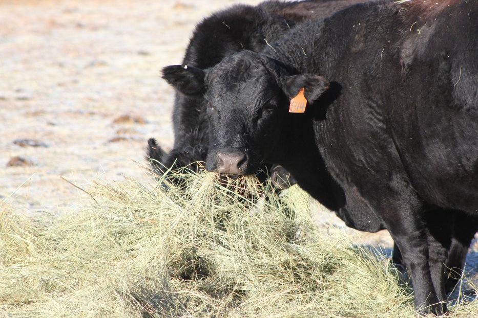 Nutrient requirements are not consistent for all classes of livestock.  Photo courtesy of Troy Walz.