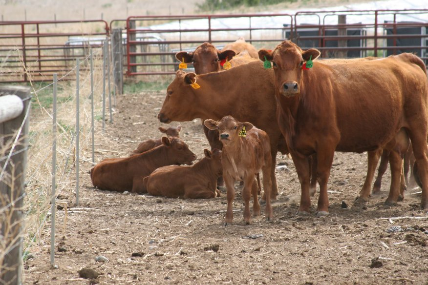 Aggressively identifying ways to reduce depreciation expense should be a goal for cow-calf producers.  Photo courtesy of Karla Jenkins.
