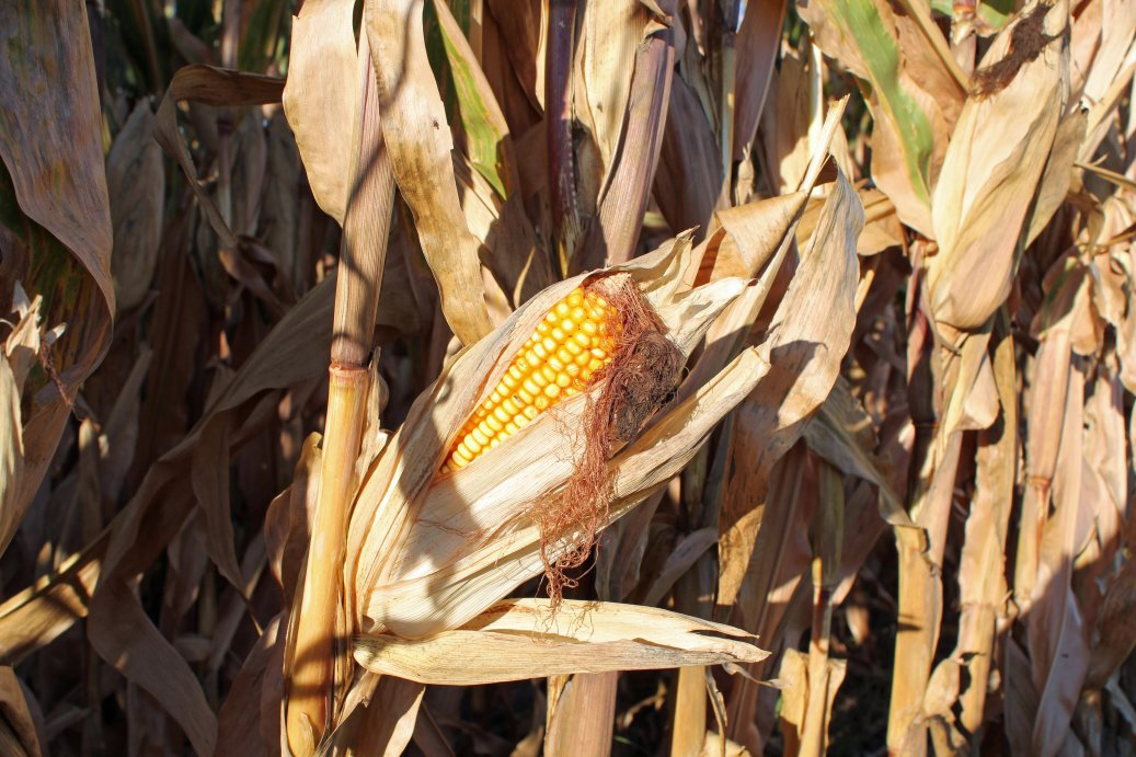 Corn fields with greater grain production can have greater stocking rates than fields with lower grain yields.  Photo courtesy of Troy Walz.