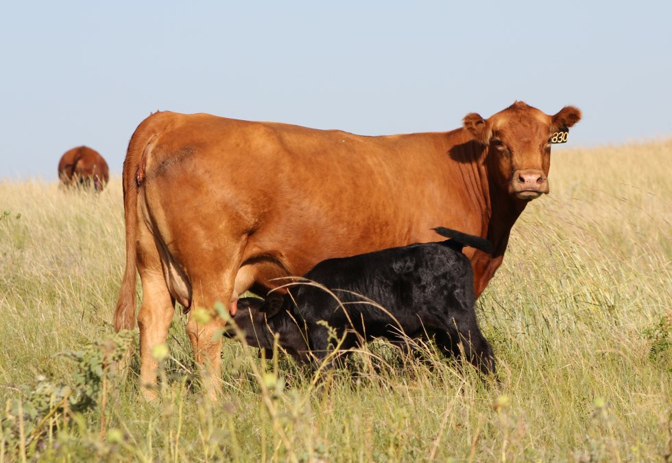 Was your cow-calf business profitable this year?  Photo courtesy of Troy Walz, Nebraska Extension.