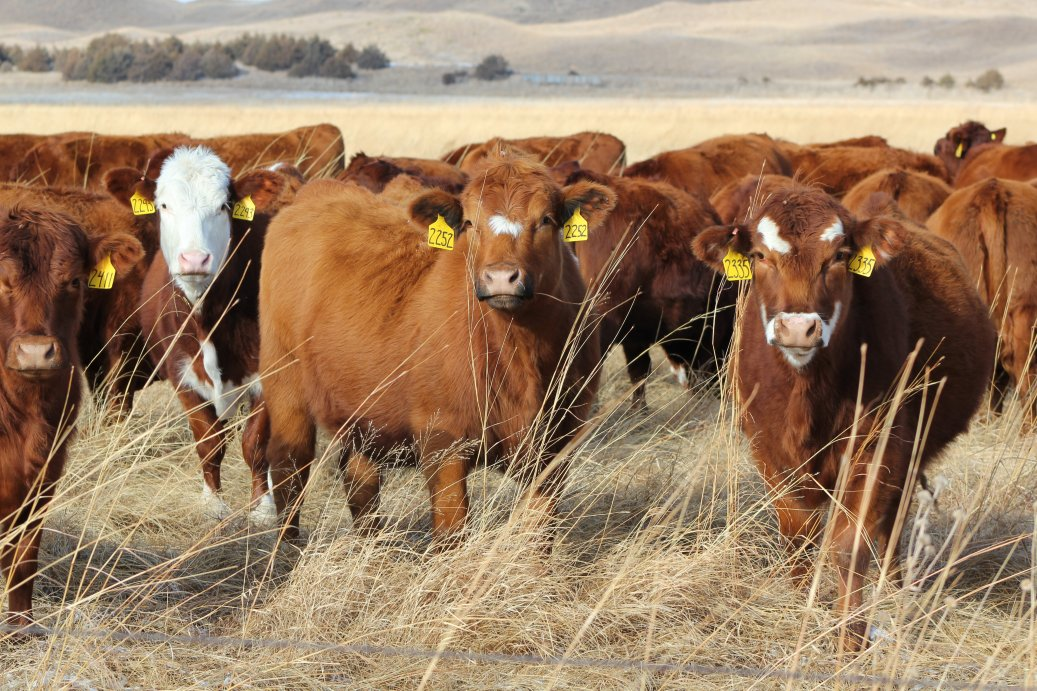 Profitable heifer purchase decisions require some consideration of more than current prices.  Photo courtesy of Troy Walz, Nebraska Extension.