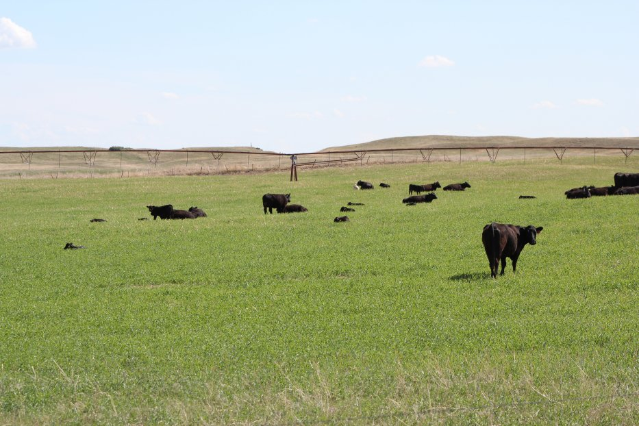 Decreased corn prices and increased cattle prices have stimulated interest in converting cropland back into grass pastures.  Photo courtesy of Troy Walz, Nebraska Extension.