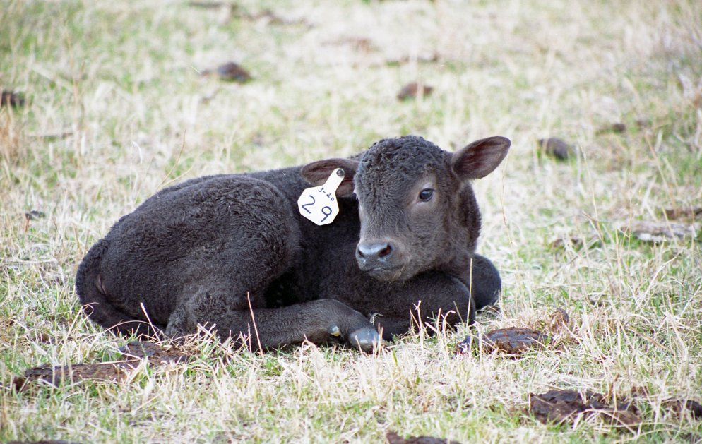 Having a plan and being prepared will help make the calving season a success. Photo courtesy of Troy Walz.