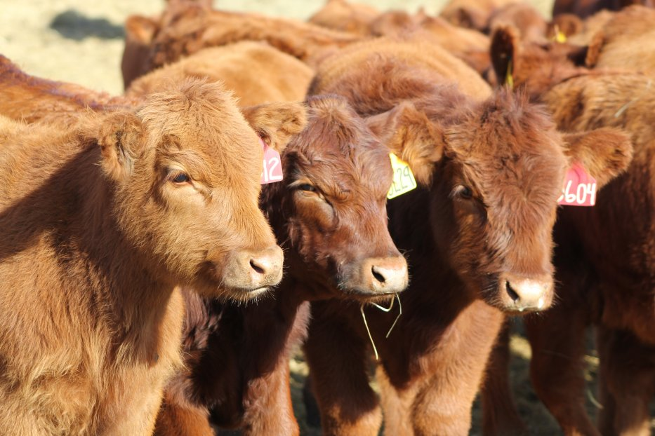 Eight Ranching for Profitability programs will be held across Nebraska focusing on the changing beef industry.  Photo courtesy of Troy Walz, Nebraska Extension.