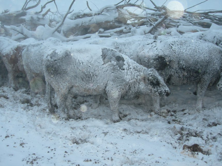 LIP provides compensation to eligible livestock producers who have suffered livestock death losses in excess of normal mortality due to adverse weather.  Photo courtesy of Troy Walz.