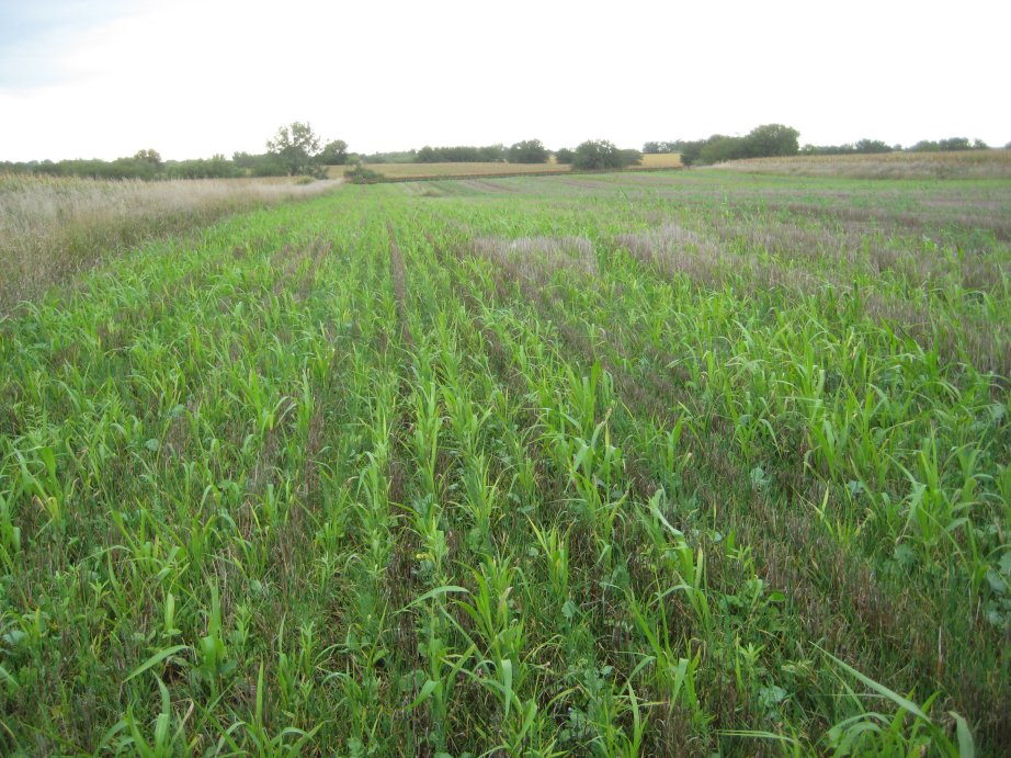 Cover crop for forage in a field near Lincoln, NE: Knowledge of plant back restriction of herbicides used in corn or soybean is important.  Photo courtesy of Amit Jhala.