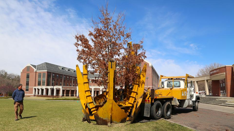 A Table Rock sugar maple is put into place in the greenspace west of Selleck Hall on UNL's City Campus on March 26. The tree was one of nearly 20 recently moved due to campus construction projects. (Troy Fedderson | University Communications)