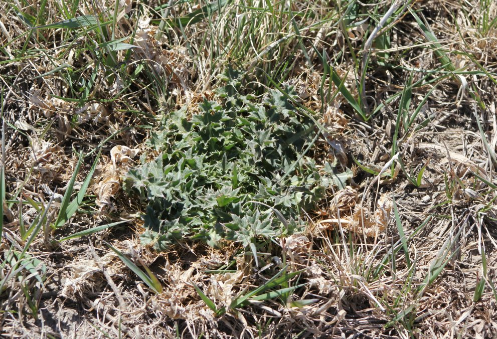 Familiarize yourself with the declared noxious weeds for your area.  Photo courtesy of Troy Walz.