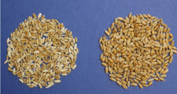Fusarium-damaged wheat kernels (left) and healthy kernels (right).  Photo from Nebraska Extension publication Fusarium Head Blight of Wheat.