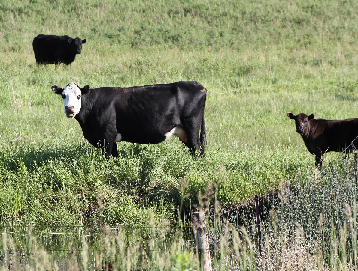 Fall is one of the most important times to evaluate the condition of your cows.   Photo courtesy of Troy Walz.