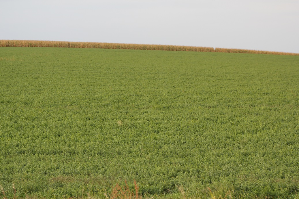 Fall alfalfa often produces the best quality forage of the year.  Photo courtesy of Troy Walz.