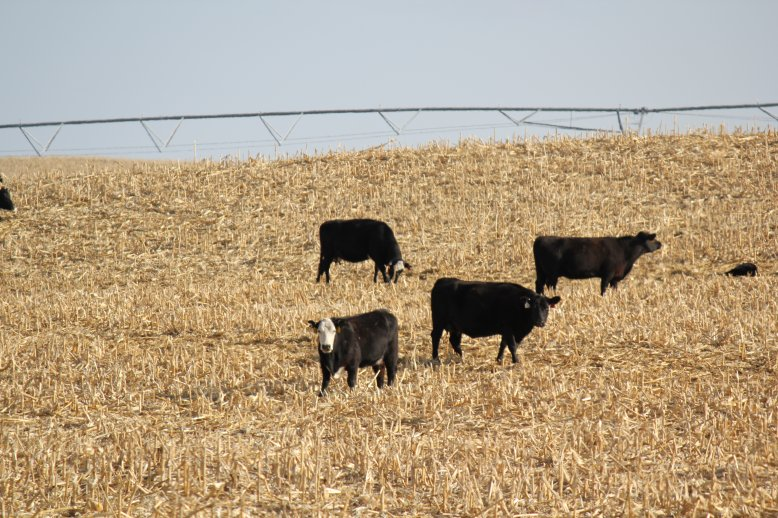 Cattle will select the grain and best quality forage first when initially turned into a field.  Photo courtesy of Troy Walz.