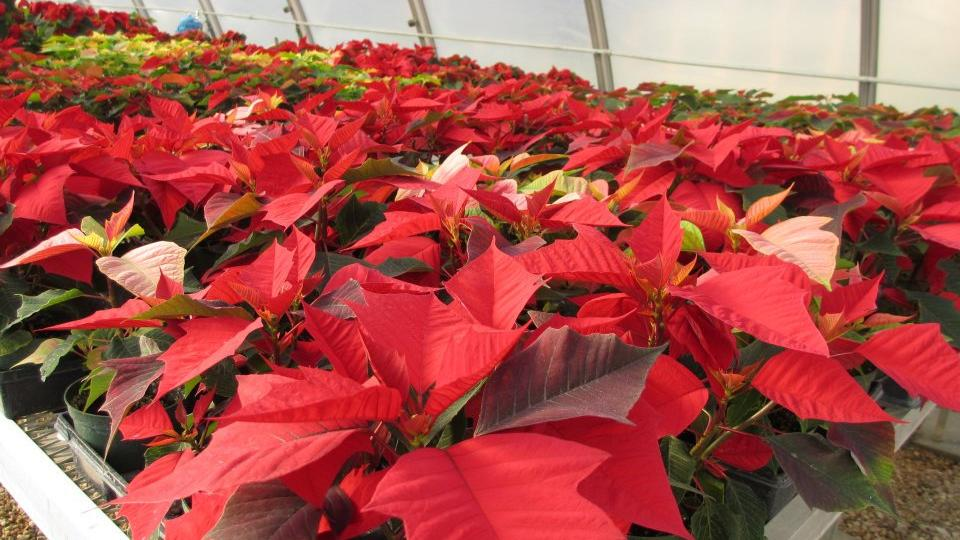 The UNL Horticulture Club's annual poinsettia sale is Dec. 9 in the Nebraska Union and Dec. 10 in the East Union. The sale will run from 9 a.m. to 3 p.m. each day.