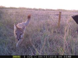A swift fox as captured by a camera trap set up by researchers with the Nebraska Canid Project. (Courtesy photo)