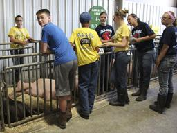 The highlight of 4-H year for the Pick-A-Pig club is the Lancaster County Super Fair, where members compete in the 4-H Swine Show and are completely responsible for feeding, watering, grooming, stall cleaning and herdsmanship of their pigs.