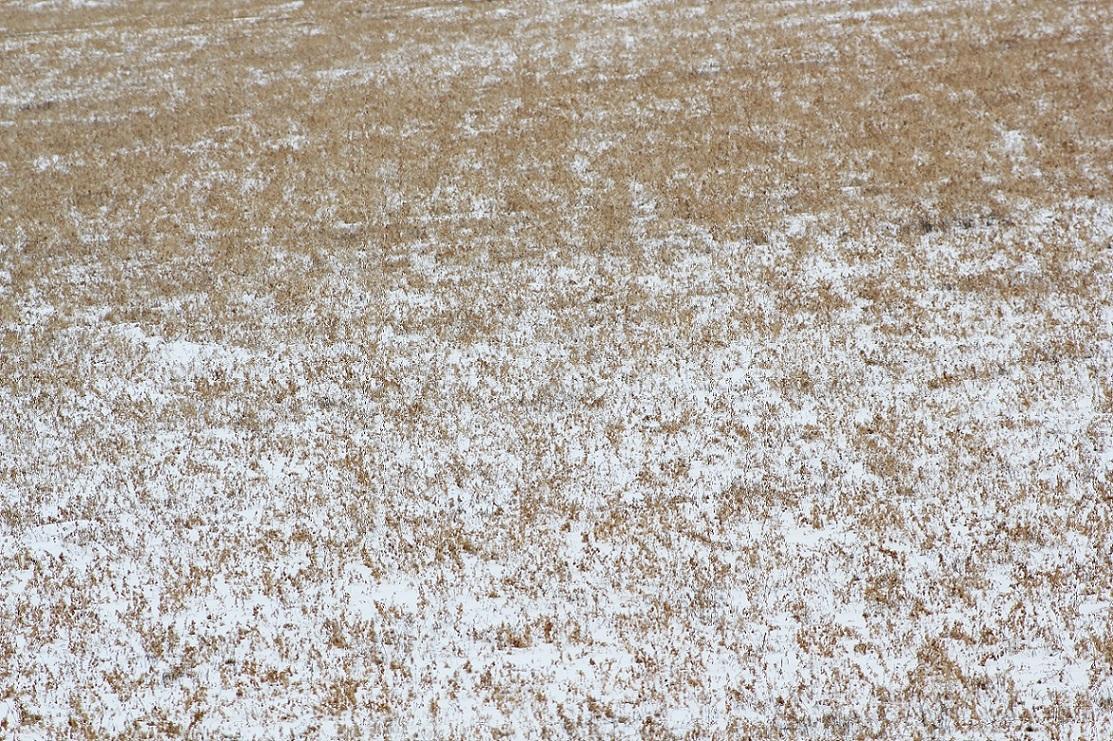 Alfalfa loves snow.  Photo courtesy of Troy Walz.