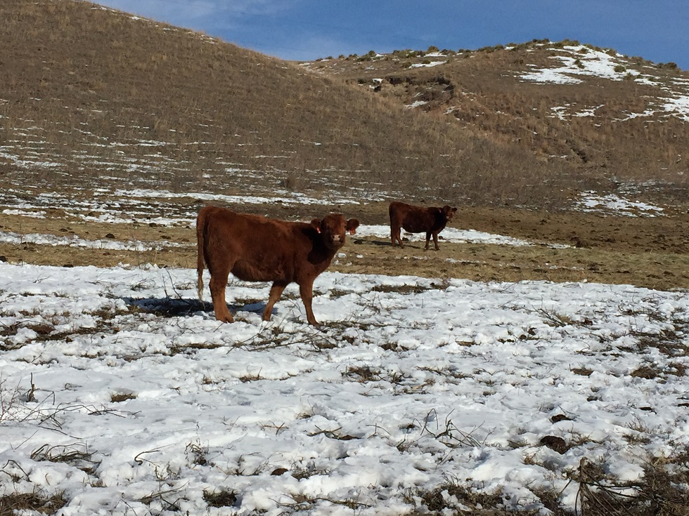 Nebraska Extension will be hosting beef cattle marketing workshops at three locations during the month of February.  Photo courtesy of Jay Parsons.