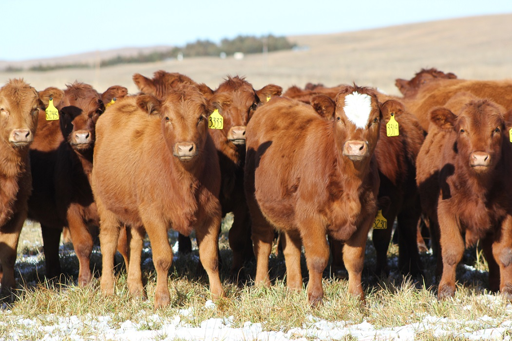 Replacement heifer selection can affect the profitability of your herd for years to come.  Photo courtesy of Troy Walz.
