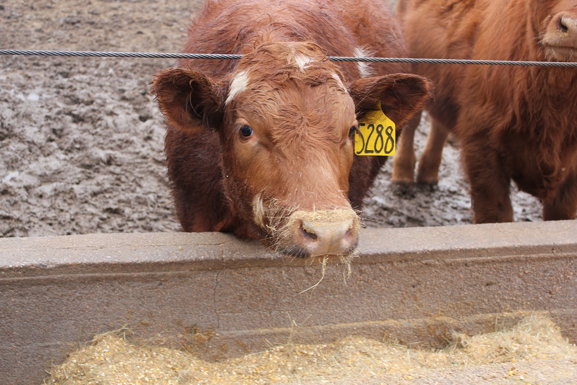 Cattle make fewer trips to the feedbunk during muddy conditions which results in lower feed intake.  Photo courtesy of Troy Walz.