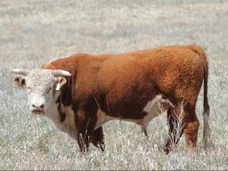 Choosing the right bull for your herd is a complex question involving many factors.  Photo courtesy of Troy Walz.