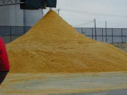 A change in the composition of distillers grains could affect the percent inclusion in the feedlot diet and the resulting cattle performance.  Photo courtesy of Troy Walz.