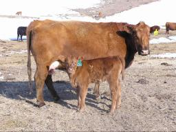 Two research studies at the University of Nebraska suggest that the key information needed to identify heifers most likely to be successful as replacements is known the day the heifers are born.  Photo courtesy of Aaron Berger.