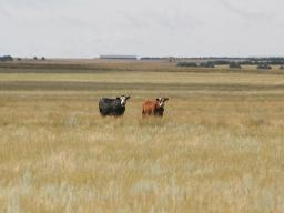 Delivering ionophores to grazing cattle can be challenging and expensive.  Photo courtesy of Karla Jenkins.