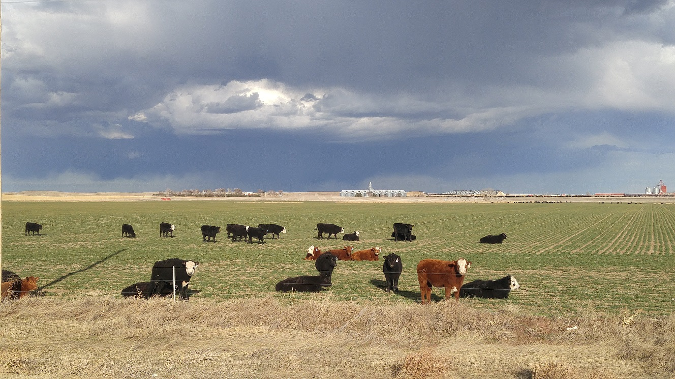 Small grain pastures can be an extremely useful resource.  Photo courtesy of Troy Walz.