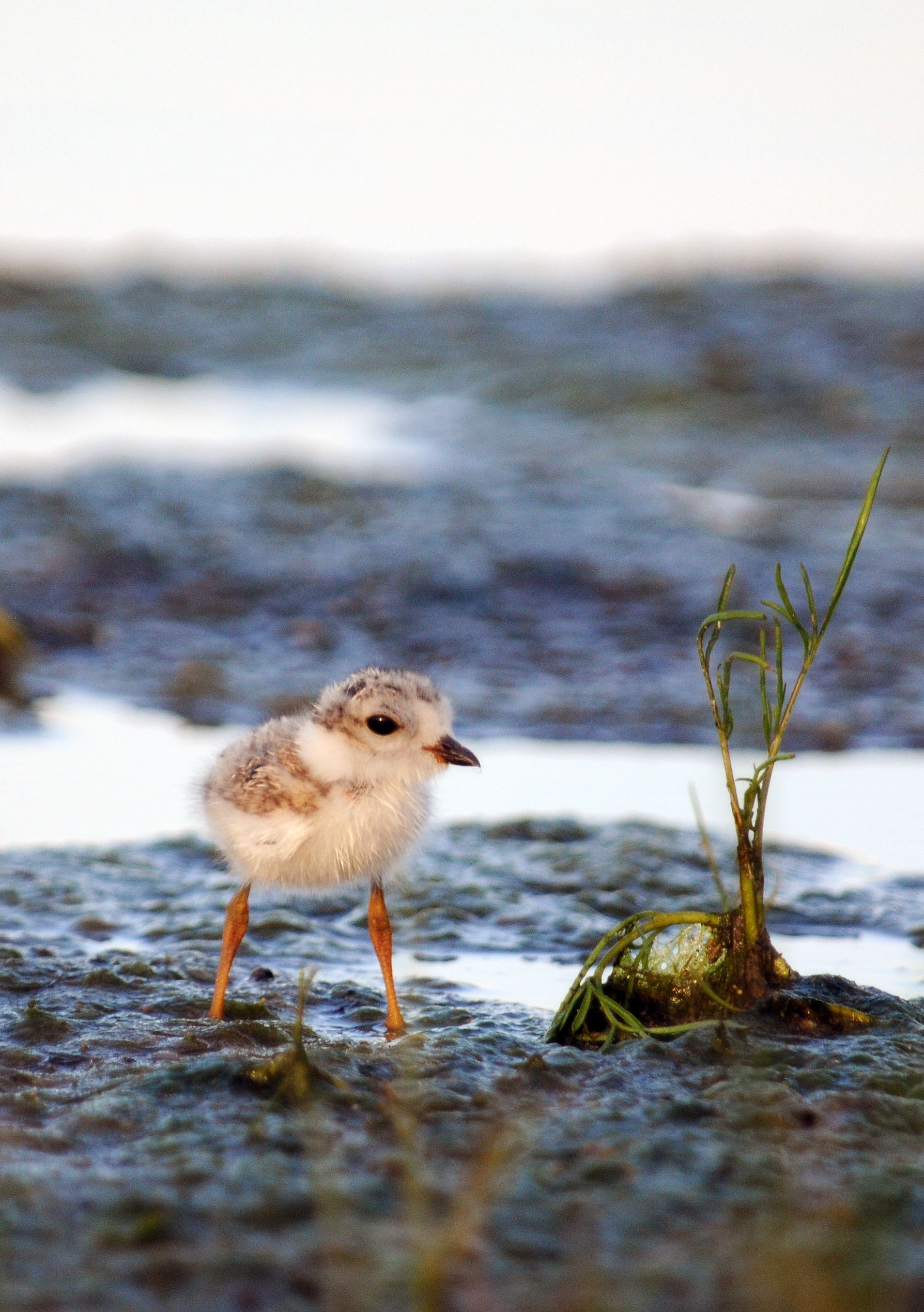 Plover study. Photo by Allison Johnson