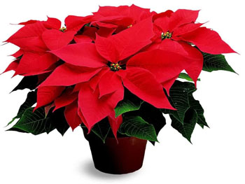 Poinsettias are a traditional holiday plant.