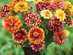 Jazzy Mix Zinnia is this year's Nebraska 4-H special garden project.