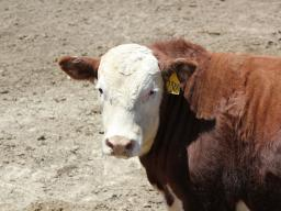 The effect of shade had no significant effect on body temperature or performance for cattle fed Zilmax or in the control group. Photo courtesy of Troy Walz.