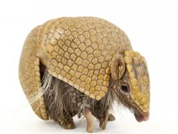 "The ""National Geographic Photo Ark"" by Joel Sartore, on display in Morrill Hall, includes this photo of a southern three-banded armadillo (Tolypeutes matacus). (Joel Sartore/National Geographic)"