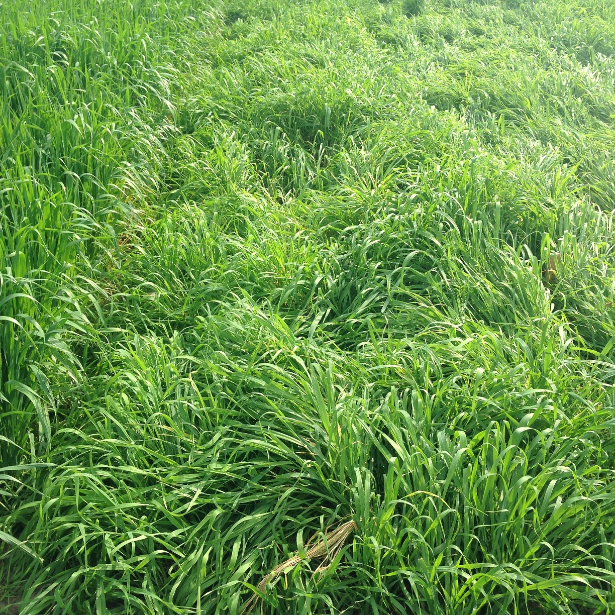 Using small grains as a dependable forage source will depend on several factors, including production potential, season of production, and winterhardiness. Photo courtesy of Daren Redfearn.